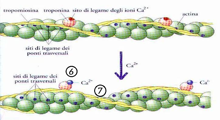 azione troponina sulla tropomiosina