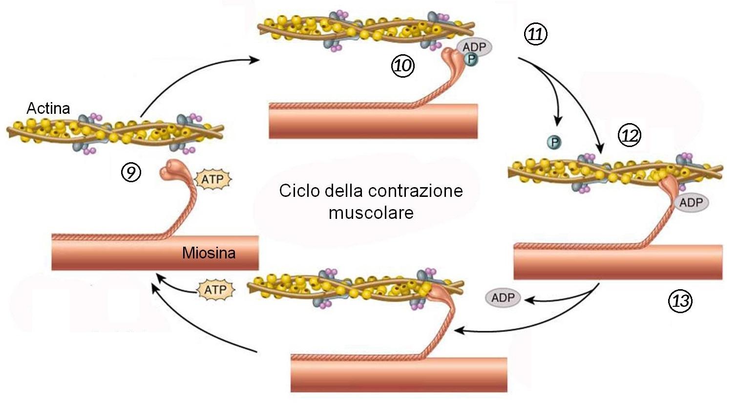 Ciclo della contrazione muscolare